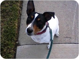 Fox Terrier (Smooth) Dog for adoption in Rancho Cordova, California - Precious