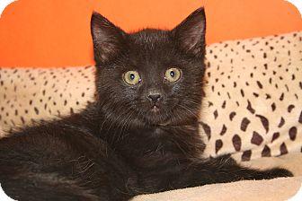 Bombay Kitten for adoption in SILVER SPRING, Maryland - MARIAH