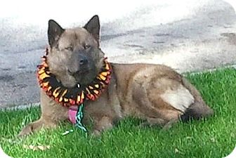 Akita/Chow Chow Mix Dog for adoption in Temecula, California - Baby