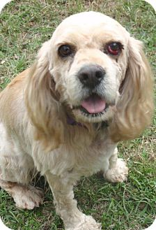 Cocker Spaniel Dog for adoption in Sugarland, Texas - Brownie