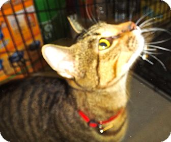 Bengal Cat for adoption in Escondido, California - Kuhuna