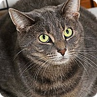 Domestic Shorthair Cat for adoption in Salem, Ohio - Shadow
