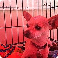 Adopt A Pet :: Ginger - North Hollywood, CA