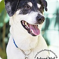 Adopt A Pet :: Shiloh - San Francisco, CA