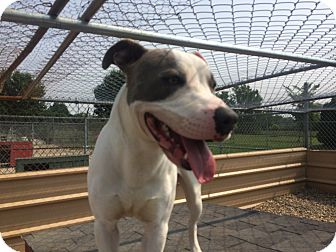 American Pit Bull Terrier Mix Dog for adoption in Indianapolis, Indiana - Opie