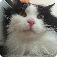 Adopt A Pet :: Fuzzy - Somerville, MA