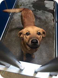 Golden Retriever/Labrador Retriever Mix Dog for adoption in Arlington, Texas - JJ - FOSTER NEEDED!