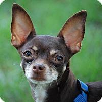 Adopt A Pet :: Buffy - Arlington, VA