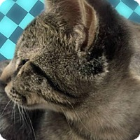 Domestic Shorthair Kitten for adoption in Tucson, Arizona - Joey-wants to be your friend