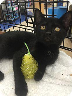 Domestic Mediumhair Kitten for adoption in Lincolnton, North Carolina - Catalina  $20