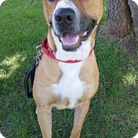 Boxer Mix Dog for adoption in Pottstown, Pennsylvania - Phil