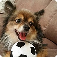 Pomeranian Dog for adoption in Dallas, Texas - Tyrunt