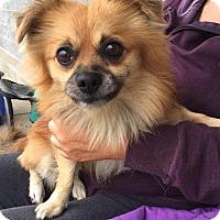 Adopt A Pet :: Bear - Trenton, NJ