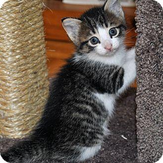Domestic Shorthair Kitten for adoption in Mississauga, Ontario, Ontario - Amelie