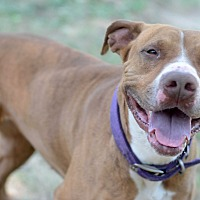 Adopt A Pet :: Cocoa - Yonkers, NY