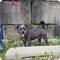 Affenpinscher Mix Dog for adoption in St John, Indiana - Eddie