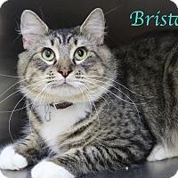 Domestic Mediumhair Cat for adoption in Bradenton, Florida - Bristol