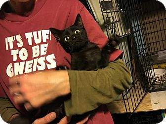 Domestic Shorthair Cat for adoption in St. Louis, Missouri - Spunky