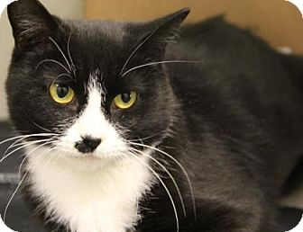 Domestic Shorthair Cat for adoption in Greensboro, North Carolina - Hillary