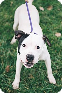 Terrier (Unknown Type, Medium)/Pit Bull Terrier Mix Dog for adoption in Cleveland, Ohio - Hamish