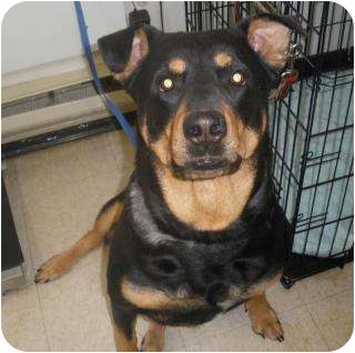 Rottweiler Mix Dog for adoption in Surrey, British Columbia - Stella