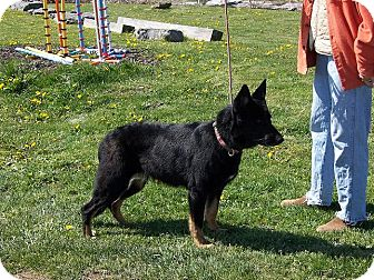 German Shepherd Dog Dog for adoption in Tully, New York - RAVEN