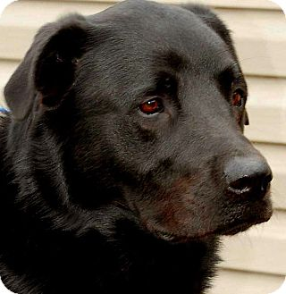 Newfoundland/Labrador Retriever Mix Dog for adoption in Wakefield, Rhode Island - DECLAN(SMART-TRAINED!! WOW!