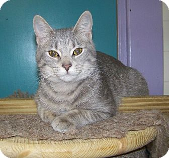 Domestic Shorthair Kitten for adoption in Dover, Ohio - Kylee