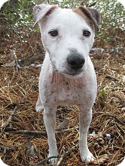 Jack Russell Terrier Mix Dog for adoption in Forked River, New Jersey - Laurel