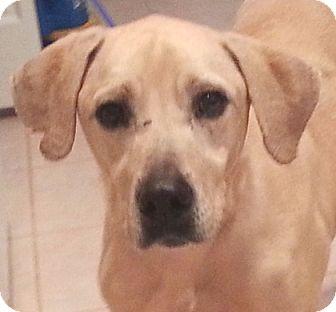 Labrador Retriever Mix Dog for adoption in Orlando, Florida - Buddy Barn