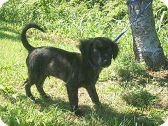 Shih Tzu/Poodle (Miniature) Mix Puppy for adoption in bridgeport, Connecticut - Chip