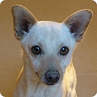 Adopt A Pet :: Wiley - Las Cruces, NM