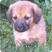 Adopt A Pet :: Budderball - Novi, MI