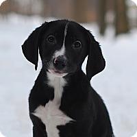 Adopt A Pet :: Harley - Randolph, NJ