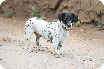 The gallery for --> Dachshund Dalmatian Mix Xeh4 Lewis Structure