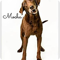 Adopt A Pet :: Mocha - Purcellville, VA