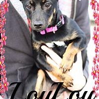 Adopt A Pet :: Lou Lou (pom-cr) - Spring Valley, NY
