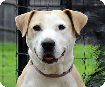 Pit Bull Terrier Mix Dog for adoption in Harrison, New York - Tilly