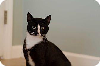 Domestic Shorthair Cat for adoption in Seneca, South Carolina - Sylvester $75