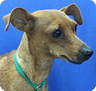 Miniature Pinscher Mix Dog for adoption in Lexington, Kentucky - Veronica