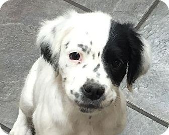 Spaniel (Unknown Type)/Boxer Mix Puppy for adoption in Hagerstown, Maryland - Petey - Urgent