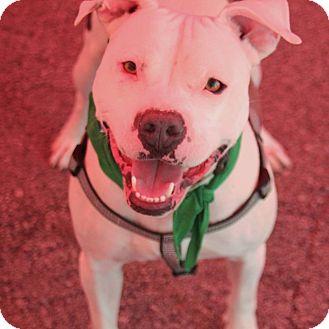 Pit Bull Terrier Mix Dog for adoption in Lexington, Kentucky - Hendrix