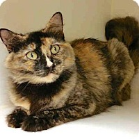 Maine Coon Cat for adoption in Texas City, Texas - ROXANNA