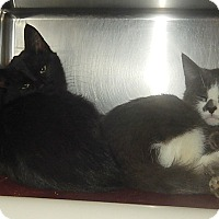 Domestic Shorthair Kitten for adoption in Newport, North Carolina - Clyde, Steve & Maudia