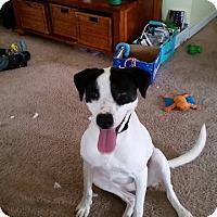 Adopt A Pet :: Gorgeous Rosie - Frederick, MD