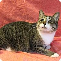 Domestic Shorthair Cat for adoption in Greensboro, North Carolina - Violet