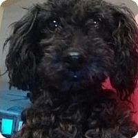 Adopt A Pet :: Sparky - Centreville, VA