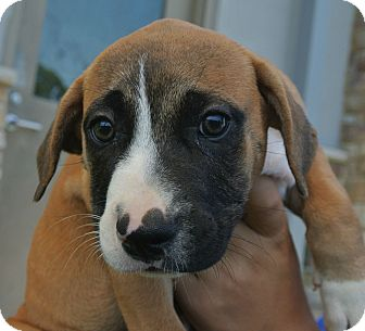 Beagle Mix Puppy for adoption in white settlment, Texas - Sadie
