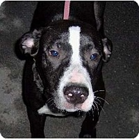 Adopt A Pet :: Bo - Accord, NY