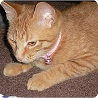 Adopt A Pet :: B.C. - Baby Cat - Brea, CA